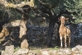 Tame goats among the olive trees sun light Royalty Free Stock Photography