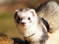 A tame and nosy ferrets outside Stock Photography