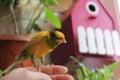 Tame pet bird Royalty Free Stock Photo