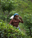 Tamil Tea picker in Sri Lanka Stock Photos