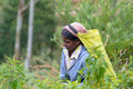 Tamil woman working manually in tea plantation Royalty Free Stock Photo