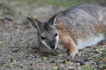 Tammar wallaby the lying on the soil Royalty Free Stock Images