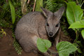 Tammar wallaby macropus eugenii behind the green vegetation Stock Photos