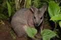 Tammar wallaby macropus eugenii behind the green vegetation Stock Photos