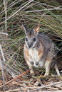 Tammar wallaby macropus eugenii sitting in the bush in the flinders chase national park on kangaroo island south australia Stock Image