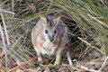 Tammar wallaby macropus eugenii sitting in the bush in the flinders chase national park on kangaroo island south australia Stock Photo