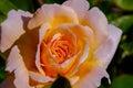 Tamora Peach Rose Royalty Free Stock Photo