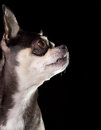 Tan & Black Chihuahua Profile View Royalty Free Stock Images