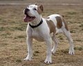 Tan and white Pitbull Portrait Royalty Free Stock Images