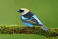 Tanager sitting on the branch. Golden-hooded Tanager, Tangara larvata, exotic tropic blue bird with gold head from Costa Rica. Gre Royalty Free Stock Photo