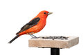 Tanager and sunflower seeds a scarlet sits on top of a seed feeder the tanager's brilliant red plumage contrasts against its Stock Image