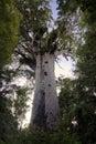 Tane Mahuta ,Kauri tree, Northland New Zealand. Royalty Free Stock Photo