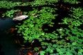 Étang de lotus de source Photos libres de droits