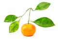 Tangerine with four leafs isolated Royalty Free Stock Photo
