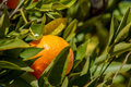 Tangerine or mandarin between leaves Royalty Free Stock Photo