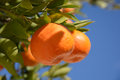 Tangerine or mandarin on tree branch with leaves Royalty Free Stock Photo