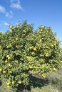 Tangerine orchard tree citrus is an orange colored citrus fruit that is closely related to or possibly a type of mandarin orange Stock Photo
