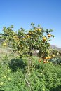 Tangerine orchard tree citrus is an orange colored citrus fruit that is closely related to or possibly a type of mandarin orange Stock Image