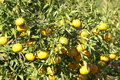 Tangerine orchard tree citrus is an orange colored citrus fruit that is closely related to or possibly a type of mandarin orange Stock Photos