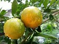 Tangerine is plant in grapefruit family lemon lime native to southeast asia Stock Image