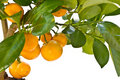 Tangerine tree Royalty Free Stock Photography