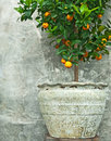 Tangerine tree in old clay pot Royalty Free Stock Photo