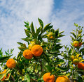 Tangerine trees fresh mersin turkey Royalty Free Stock Photo