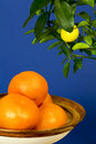Tangerines bowl twig ripening lemon dark blue background Stock Photo
