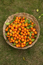 Tangerines bucket full of on green grass Stock Images