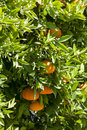 Tangerines on a flowering tree Royalty Free Stock Photography