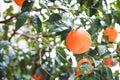 Tangerines ripe on a tree Stock Image