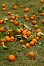 Tangerines scattered on green grass Stock Images