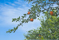 Tangerines on tree Stock Images