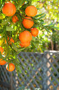 Tangerines Tree Outdoors with Background Stock Photos