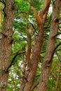 Tangled pine tree trunks pomerania northern poland Stock Photos
