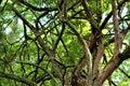 Tangled Tree Royalty Free Stock Photo