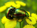 Tansy beetle Royalty Free Stock Images