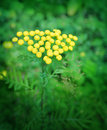 Tansy close up of tanacetum vulgare flowers Stock Photo