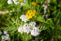 Tansy flower and bee closeup. Royalty Free Stock Photo