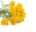 Tansy isolated white background Stock Image