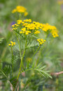 Tansy (Tanacetm vulgare) flower. Royalty Free Stock Photography