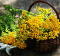 Tansy Tanacetum - perennial herbaceous plants Compositae Asteraceae . Herbs harvesting of medicinal raw materials Royalty Free Stock Photo
