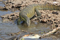 Tanzania Nile Monitor Varanus niloticus near river Royalty Free Stock Photo