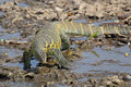 Tanzania nile monitor varanus niloticus near river a large drinking a in serengeti national park Stock Photo