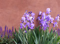 Taos Irises Royalty Free Stock Image