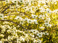 Tapestry of White Dogwood Blossoms Royalty Free Stock Photo