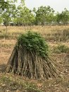 Tapioca farm or Cassava tree
