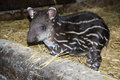 Tapir baby lowland tapirus terrestris in a zoo Royalty Free Stock Images