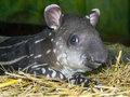Tapir baby lowland tapirus terrestris in a zoo Royalty Free Stock Photos