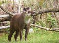 Tapir brazilian lowland sort tapirus terrestris Stock Photography